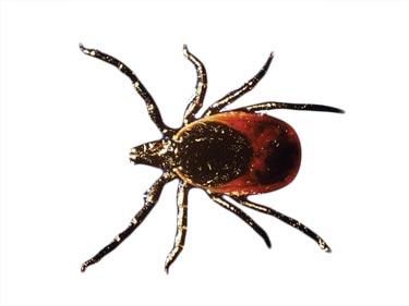 HEALTH-Lyme-disease-Deer-Tick-Cutout2.jp