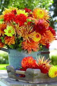 Mixed Dahlias - Longfield Gardens