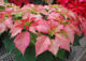 Keep Holiday Plants Looking Their Best